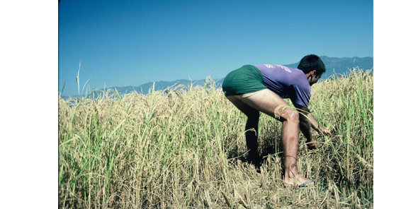 Jeff Gaura harvesting rice, circa 1988